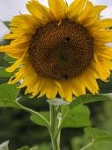 big-sunflower